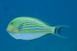 BD-141017-Komodo-5226-Acanthurus-lineatus-(Linnaeus.-1758)-[Lined-surgeonfish.-Randig-kirurgfisk].jpg